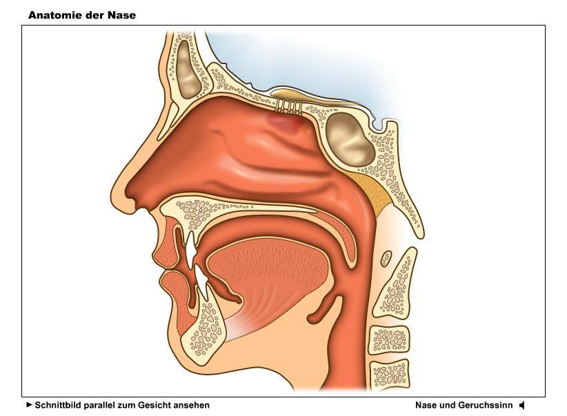 Tolle Oberfläche Anatomie Der Nase Bilder - Menschliche Anatomie ...